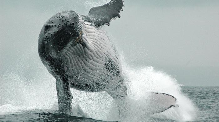 Whales_HugeBreach_700